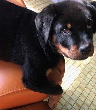 rottweilers for sale in illinois m 225 s de 25 ideas incre 237 bles sobre criadero de rottweiler en camas para
