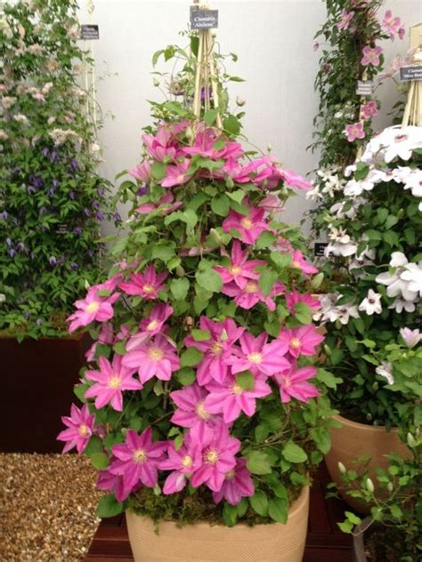 easy climbing plants top 10 tips on growing gorgeous clematis vines clematis