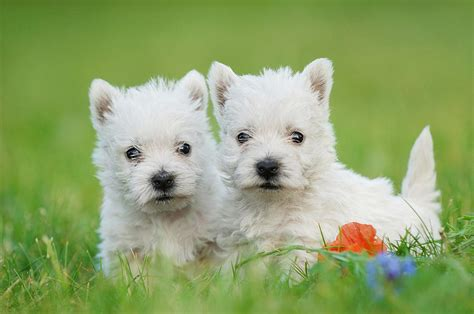 west highland white terrier puppy two west highland white terrier puppies portrait photograph by waldek dabrowski