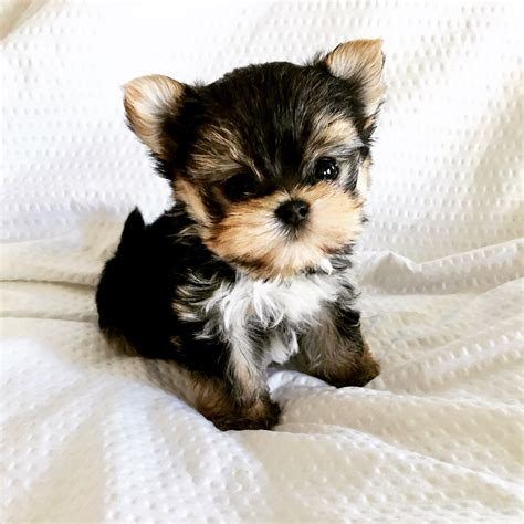 micro mini puppies micro teacup morkie puppy for sale tiny iheartteacups