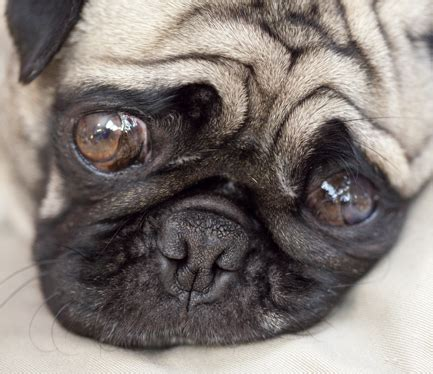 cutest pug in the whole world cutest pug in and perhaps the world in a glass eye