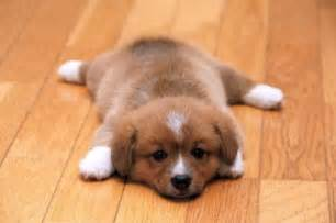 Brown Bear Rug For Sale Cute Dog Dogs Puppies Puppy Image 71516 On Favim Com