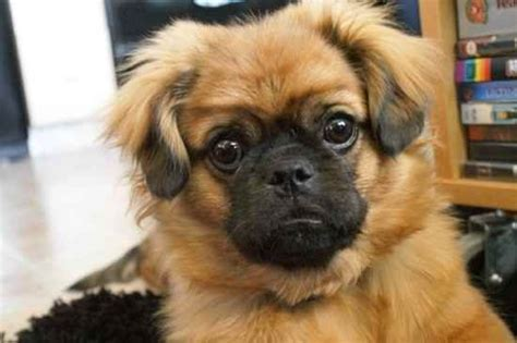 pug mix breeds list pug cross breeds cutest pug mix dogs complete list