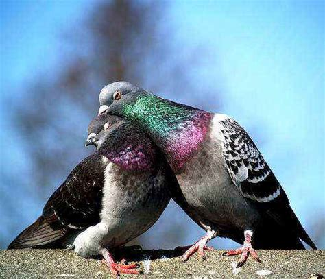 Pigeon 2 Pa help end live pigeon shoots in pennsylvania an all creatures alert justice peace