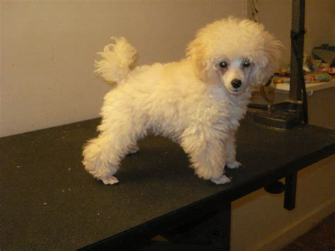 pictures of poodle haircuts toy poodle haircuts ve included a quot before quot and a few