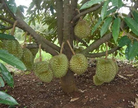 Bibit Durian Raja Musang anim agro technology durian musang king 30 bulan berbuah