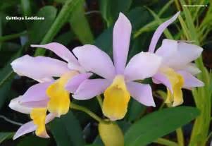 Most Fragrant Lavender Plants - cattleya family