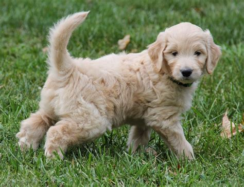 goldendoodle puppy yesteryear acres doodle days monday goldendoodle puppy