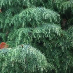 cryptomeria japonica elegans japanese cedar tree