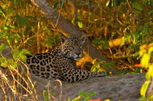 Jaguar Facts Jaguar Facts For Jaguar Diet Behavior Habitat