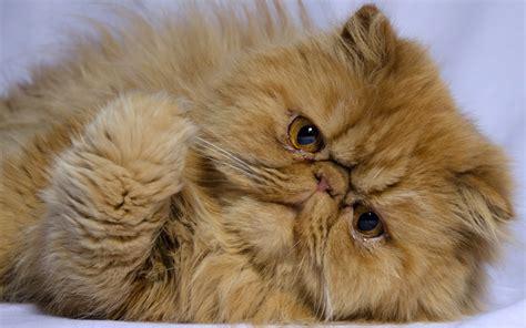 foto persiani il gatto persiano il pelo lungo per eccellenza animali