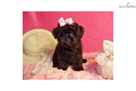 purse puppies yorkiepoo yorkie poo puppy for sale near st louis missouri 0d0cba30 cd81