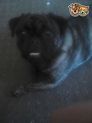 pug cross with staff pug cross staff oldham greater manchester pets4homes