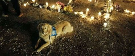 lcc k9 comfort dogs therapy dogs comfort survivors of las vegas shooting abc