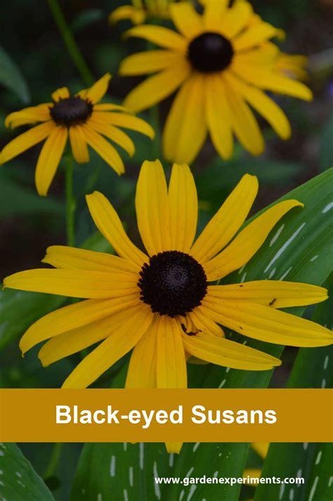 black eyed black eyed susan rudbeckia hirta