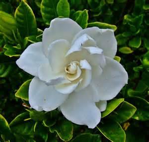 about gardenias garden guides