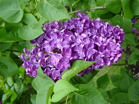 purple lilac lilacs how to plant grow and care for lilac shrubs