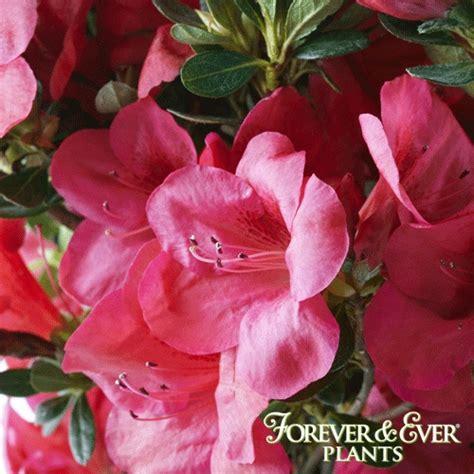 slipper azalea forever slipper azalea blooms forever