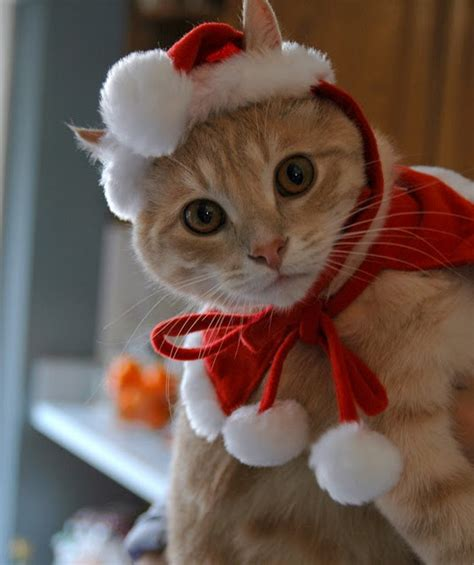 images of christmas cats new funny pictures very funny christmas cat humor pictures