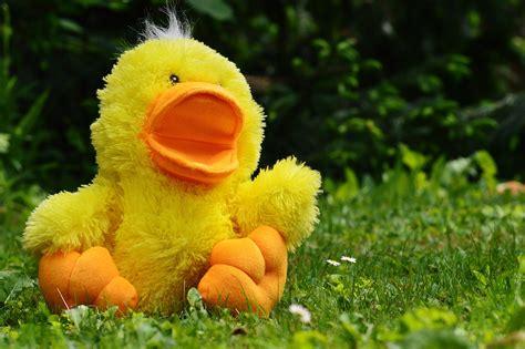 Boneka Bebek Kuning Yellow Duck fotos gratis c 233 sped p 225 jaro prado flor
