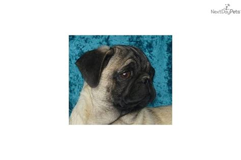 pugs for sale in dakota pug for sale for 400 near central sd south dakota a31be537 0ac1