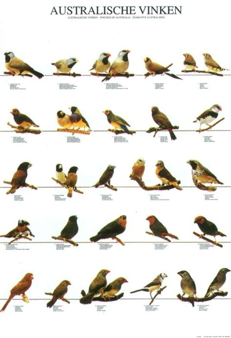 1000 images about finches on pinterest passerine