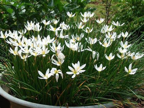 Benih Asparagus Malaysia white