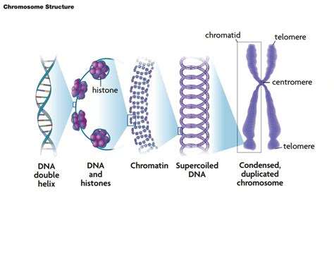chromosome diagram labeled the gallery for gt chromosomes labeled