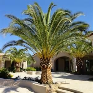 Patio Lemon Tree Care Canary Island Date Palm Install Large Date Palm 6 Feet
