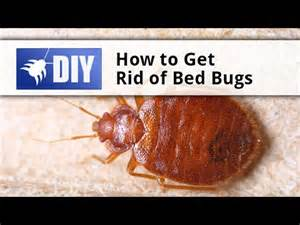 How To Kill Bed Bug by How To Get Rid Of Bed Bugs Tips