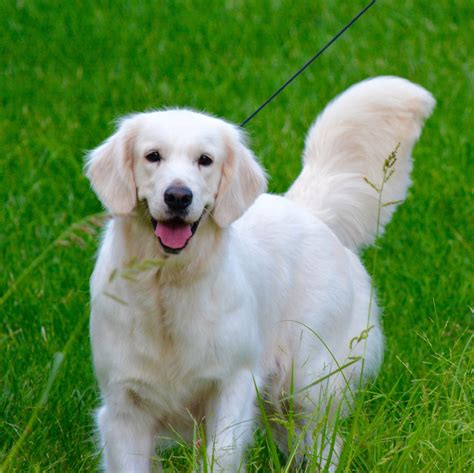 golden retriever buy buy golden retriever wv photo