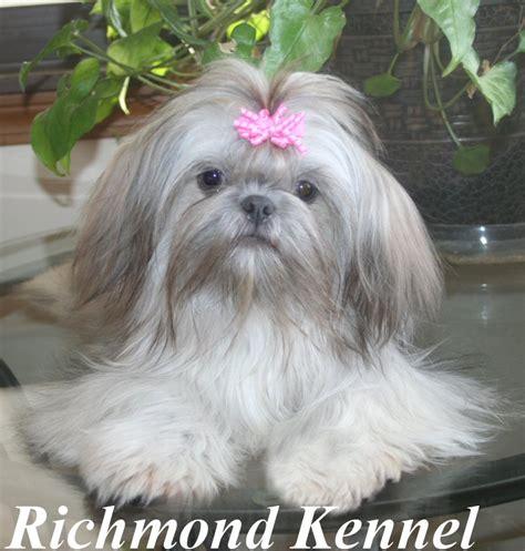 richmond kennel shih tzu shih tzu adults