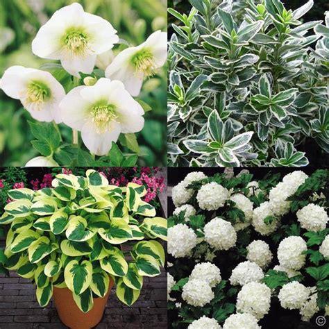 fragrant plants for shade white shade garden 6 plants and shrubs buy order