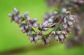 fiore artemisia chiarezza su estratti vegetali medicamentosi infinito