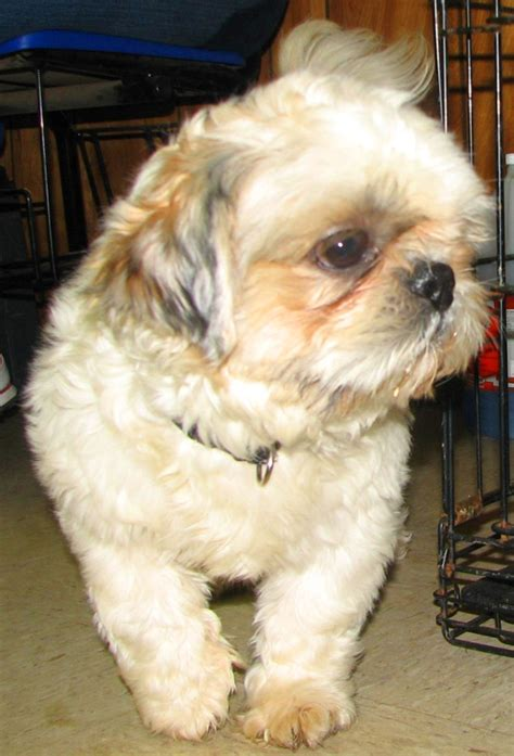 shih tzu rescue oklahoma ark animal rescue and kare of mccurtain county oklahoma has an adorable shih tzu