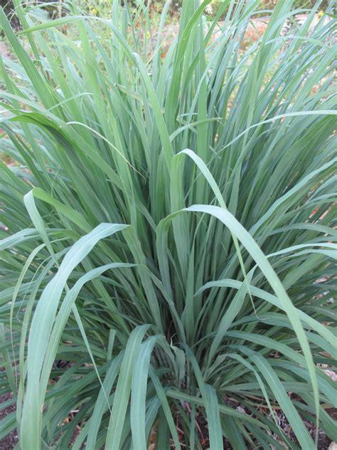 plants  repel mosquitoes gardaholicnet
