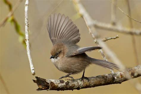 bushtits birdnote