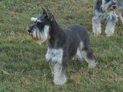 akc puppies for sale pictures of mini schnauzer puppies 4k wallpapers