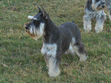 akc find a puppy akc miniature schnauzer puppies breeds picture