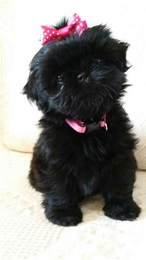newborn shih tzu puppies 25 best ideas about baby shih tzu on cavapoo