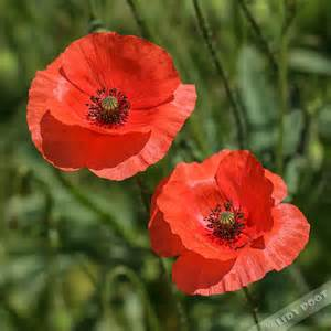 grote klaproos papaver rhoeas rode wilde bloemen