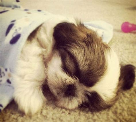 how much shih tzu puppies cost shih tzu petsync