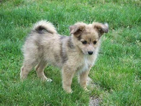 pomeranian disposition the pomeranian australian shepherd mix much more than just a pretty coat