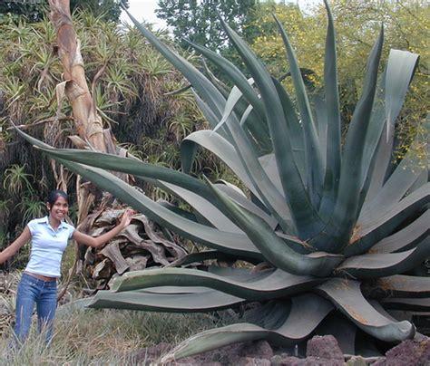 agave extra large aka agave mapisaga var lisa thank y flickr