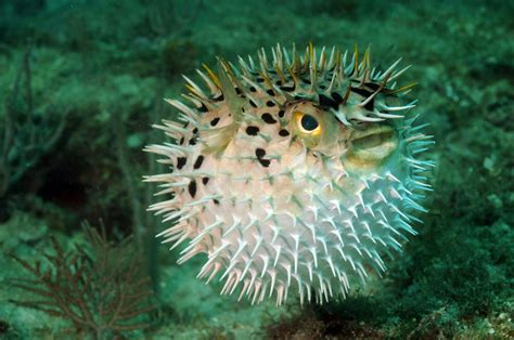 puffer fish 15 of the most venomous creatures to roam the earth