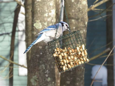 blue jay trying to dismantle the peanut feeder when he