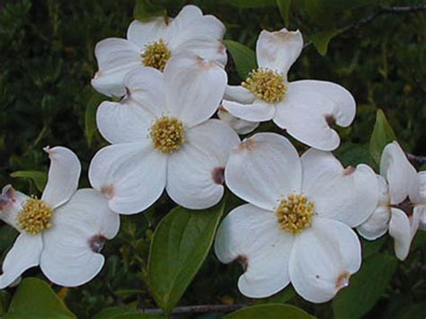 state flower of virginia virginia state flower the american dogwood pictures