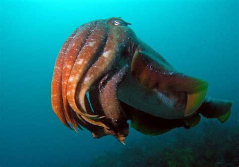 Giant Australian Cuttlefish (Sepia apama)