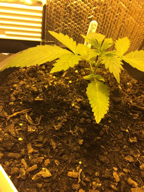 grow ls for indoor royal queen seeds stress killer automatic cbd grow journal