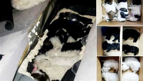 smuggling puppies gets 30 weeks for smuggling pups animal cruelty free malaysia today